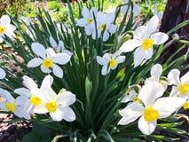 Bos van bloeiende witte gele narcissen royalty-vrije stock foto