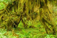Bos van bomenclose-up met mos wordt behandeld dat Stock Afbeeldingen