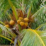 Bos van bruine kokosnoten op een kokospalm royalty-vrije stock afbeeldingen