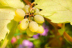 Bos van chardonnay druiven Royalty-vrije Stock Foto