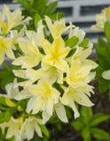 Bos van Chinese gele bloemen Stock Foto's