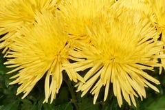 Bos van chrysanten Royalty-vrije Stock Foto