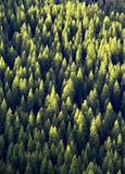 Bos van de Bomen van de Pijnboom Royalty-vrije Stock Afbeelding