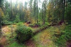 Bos van de de zomer het groene pijnboom Stock Foto