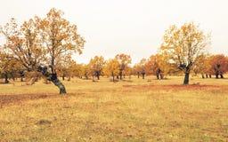 Bos van de herfsteiken stock afbeeldingen