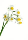 Bos van de lentegele narcissen Stock Fotografie