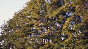 Bos van de de lentepijnboom, camera die, het oranje zonsondergang glanzen zich vooruit het bewegen stock video