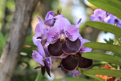 Bos van de orchideebloem van Vanda van de twee toonkleur purpere en donkere purpere Stock Fotografie