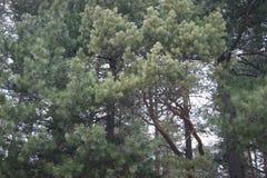 Bos van de pijnboom het bospijnboom in de zomertijd Royalty-vrije Stock Afbeelding