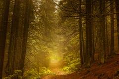 Bos van de pijnboom het donkere herfst in mist Stock Fotografie