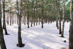 Bos van de de winter snow-covered spar Royalty-vrije Stock Foto