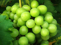 Bos van druiven Royalty-vrije Stock Fotografie
