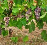 Bos van druiven Stock Afbeeldingen