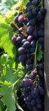 Bos van druiven Stock Afbeelding