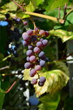 Bos van druiven Royalty-vrije Stock Foto's