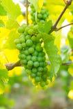 Bos van Druiven bij Wijnmakerij stock afbeeldingen