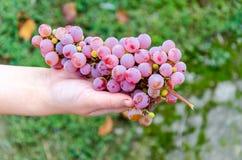 Bos van druiven die in de handen liggen stock foto