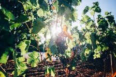 Bos van druiven die op takken riping royalty-vrije stock foto's