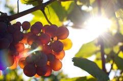 Bos van druiven door zonneschijn royalty-vrije stock afbeeldingen