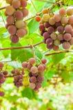Bos van druiven op een brunch Royalty-vrije Stock Afbeelding