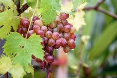 Bos van druiven op een wijnstok in de zonneschijn Royalty-vrije Stock Afbeelding