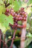 Bos van druiven op een wijnstok in de zonneschijn Royalty-vrije Stock Foto