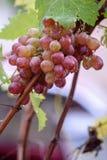 Bos van druiven op een wijnstok in de zonneschijn Stock Afbeelding
