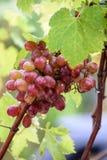 Bos van druiven op een wijnstok in de zonneschijn Stock Fotografie