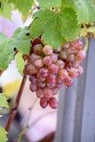 Bos van druiven op een wijnstok in de zonneschijn Royalty-vrije Stock Fotografie