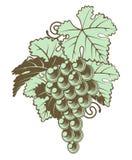 Bos van Druiven op Wijnstok Royalty-vrije Stock Afbeeldingen