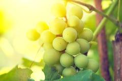 Bos van druiven op wijnstok Stock Foto's