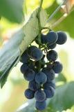 Bos van druiven op wijnstok Stock Fotografie
