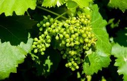 Bos van druiven tijdens veraison royalty-vrije stock foto's