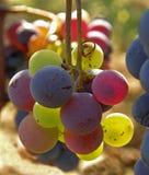 Bos van druiven in verschillende kleur Stock Foto