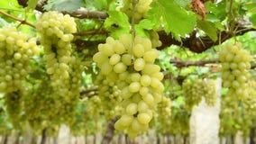 Bos van druiven in wijngaard stock footage