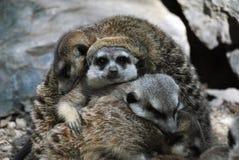 Bos van een meerkatfamilie stock foto