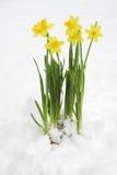 Bos van gele de lentegele narcissen Stock Foto's