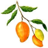 Bos van gele die mango's, op wit wordt geïsoleerd Royalty-vrije Stock Afbeelding