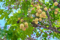Bos van gele fruitboom royalty-vrije stock foto's
