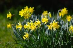 Bos van gele gele narcissen royalty-vrije stock foto
