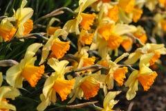 Bos van gele gele narcissen Stock Afbeeldingen
