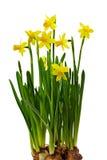 Bos van gele narcissen met bollen die op w worden geïsoleerde Stock Foto's