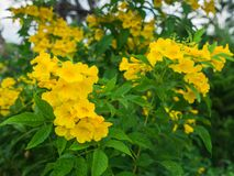 Bos van Gele trompet-Bloemen stock afbeelding