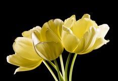 Bos van gele tulpen op zwarte achtergrond Stock Foto