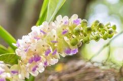 Bos van geurige orchideeën, Aerides-falcata Lindl Royalty-vrije Stock Foto's