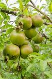 Bos van Granaatappels op Boom royalty-vrije stock foto