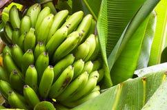 Bos van groene bananen die in een tropische tuin op Tenerife groeien, Canarische Eilanden, Spanje Stock Foto