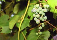 Bos van Groene Druiven Stock Afbeelding