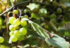Bos van groene druiven met droge bladeren Royalty-vrije Stock Fotografie
