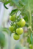 Bos van groene tomaten Stock Afbeelding